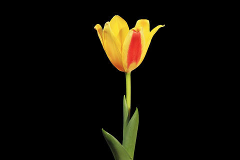 4K. Yellow tulip bloom buds ALPHA matte, Ultra HD Footage
