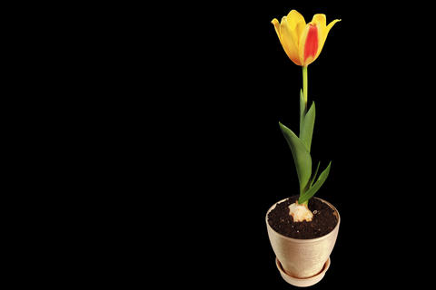 4K. Yellow tulip bloom buds ALPHA matte, Ultra HD Footage