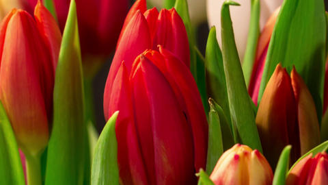 Bouquet of bright tulips blooms, macro moving Footage