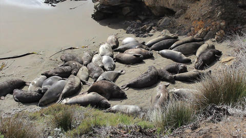 Elephant Seals Laying On The Beach Footage