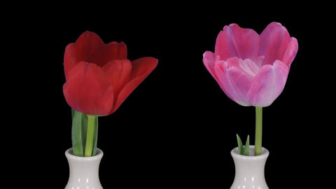 Montage of opening pink and red tulips in a vase 1 Footage