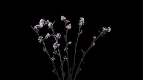Time-lapse of blooming cherry willow branch 10x1 Footage