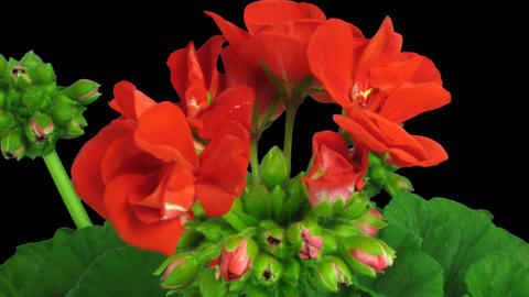 Time-lapse of opening red geranium (Pelargonia) fl Footage