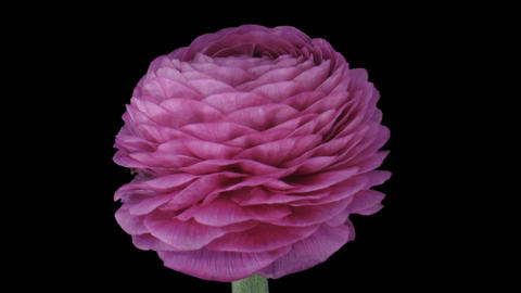 Time-lapse of growing pink ranunculus flower 1a1 Footage