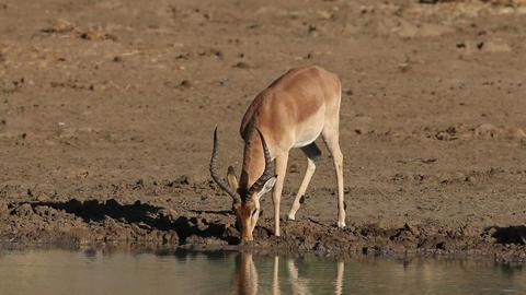 Impala antelope drinking Footage