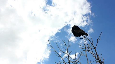Raven on Tree Timelapse Footage