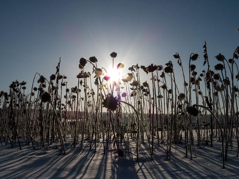 Dried sunflowers on sunrise background. Time Lapse Footage