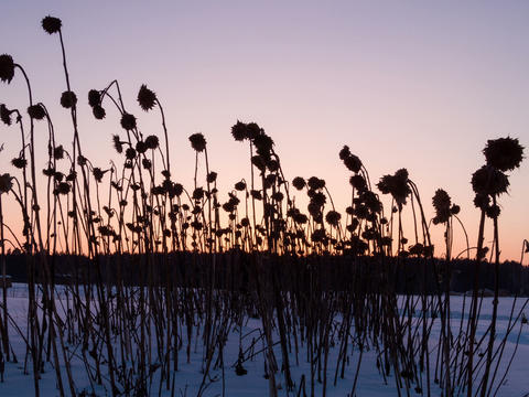 Dried sunflowers at sunset. Time Lapse . 4x3 Footage