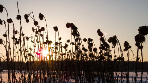 Dried sunflowers winter. Time Lapse Live Action