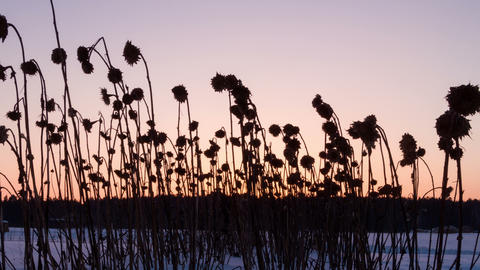 Dried sunflowers winter. Time Lapse . 4K Footage
