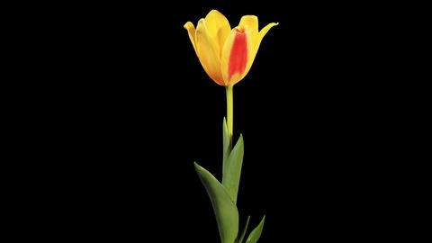 Yellow tulip bloom buds ALPHA matte, FULL HD Live Action