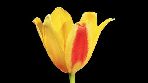 Yellow tulip bloom buds ALPHA matte, FULL HD Footage