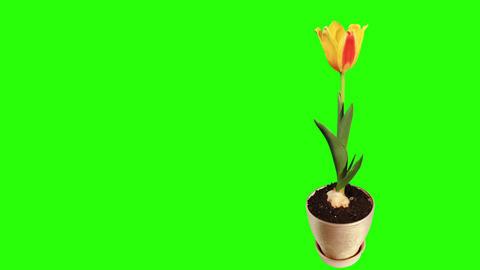 Yellow tulip bloom buds green screen, FULL HD Footage