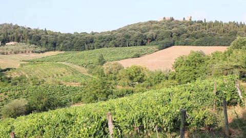 Vine Crop In Vineyard stock footage