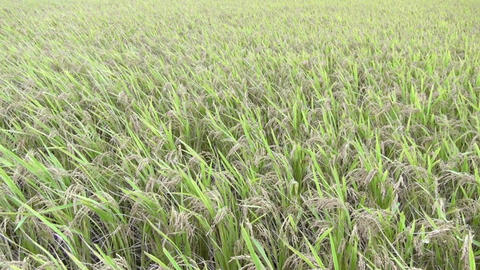 close up rice field and wind Footage