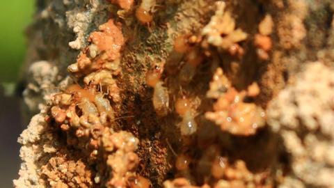 Queen Termite 0