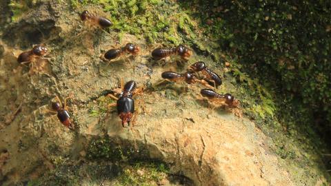 Queen Termite 1