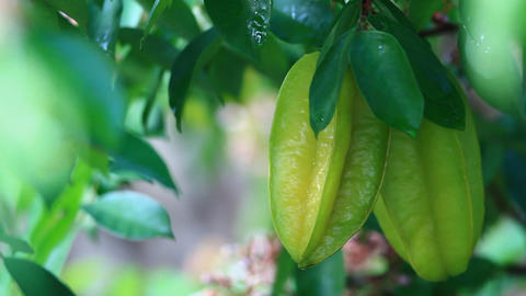 Pick Starfruit stock footage