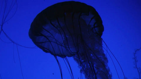 Jellyfish Swimming 02 Stock Video Footage