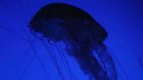 Jellyfish Swimming 02 Stock Video Footage