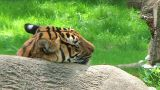 Siberian Tiger Close-up stock footage