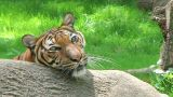 Siberian Tiger Close-up Stock Video Footage