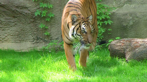 Tiger Walking In Grass Stock Video Footage