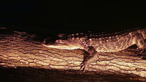 Alligator Crawling On Log Stock Video Footage