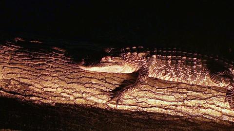 Alligator Crawling On Log Live Action
