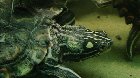 Turtle Eating Stock Video Footage