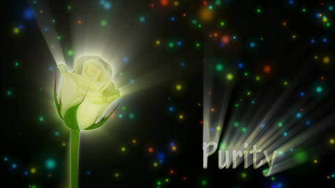 "White rose ""Akito"" color meaning ""Purity"" 1a alpha matte Stock Video Footage"