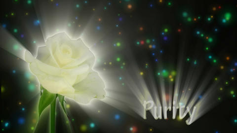 """White rose """"Akito"""" color meaning """"Purity"""" 1a alpha matte Stock Video Footage"""