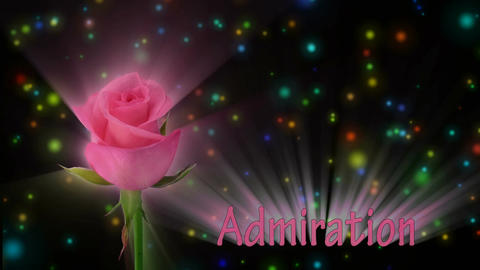 "Pink rose ""Blushing Akito"" color meaning ""Admiration"" 1a... Stock Video Footage"