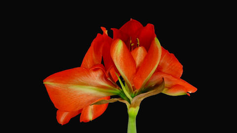 Growing amaryllis red lion Footage
