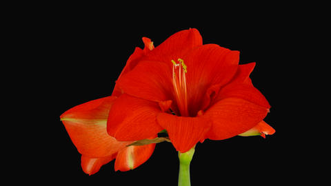 Growing amaryllis red lion Stock Video Footage