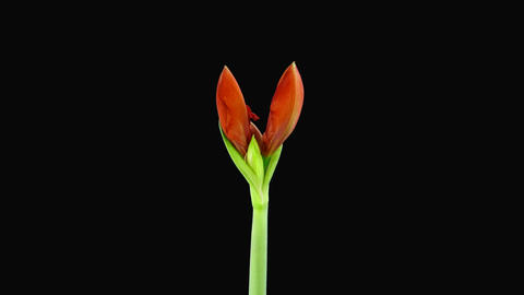 Growing amaryllis red lion with triple petals Stock Video Footage
