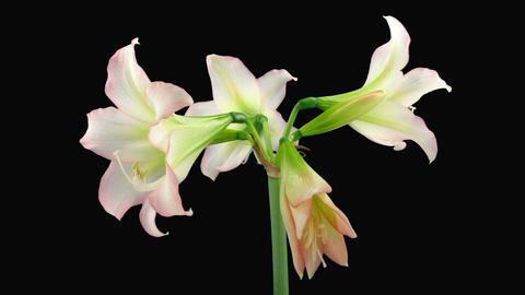 "Time-lapse opening white ""Trentino"" amaryllis Christmas flower alpha matte 1 画像"
