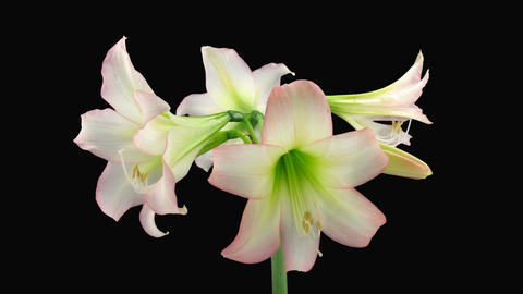 "Time-lapse opening white ""Trentino"" amaryllis Christmas... Stock Video Footage"