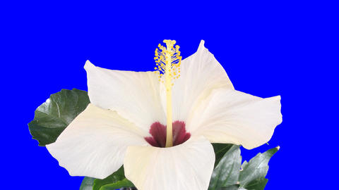 Time-lapse of white hibiscus flower opening 8 chroma key Stock Video Footage