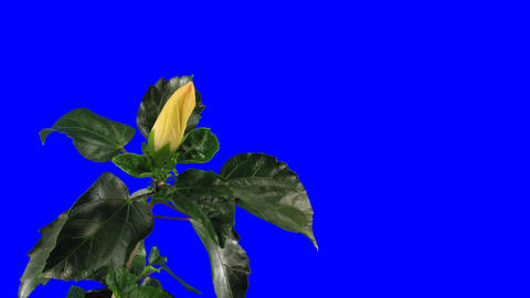 Time-lapse of white hibiscus flower opening 9 chroma key Stock Video Footage