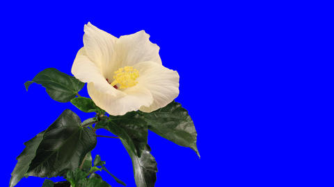 Time-lapse of white hibiscus flower opening 9 chroma key Footage