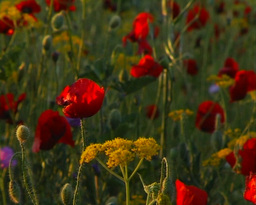 Poppies Stock Video Footage