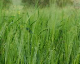 Rye Waving In The Wind Stock Video Footage