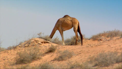 dromedary heat desert Stock Video Footage