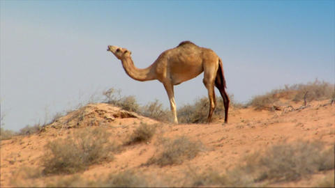 dromedary heat desert Footage