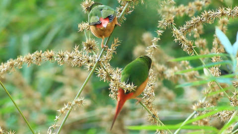 Pin-tailed Parrotfinch Footage