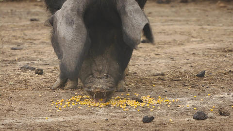 Pig eating in farm, Sardinia, Italy Stock Video Footage