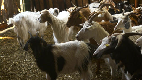 Herd Of Goats In Farm, Sardinia, Italy Stock Video Footage