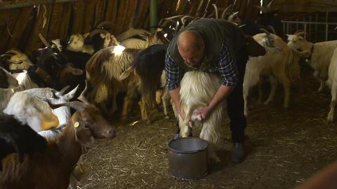Man Milking Goats In Farm, Sardinia, Italy Stock Video Footage