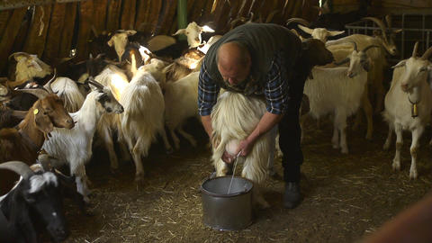 Man Milking Goats In Farm, Sardinia, Italy Footage